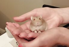 Russian dwarf hamster female 1209X812 jpeg